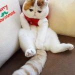 Экзотическая порода кошек - любознательная порода