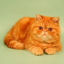 Экзотическая порода кошек - необычная порода
