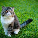 Экзотическая порода кошек - особенности породы
