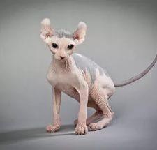 Кот-эльф - описание породы
