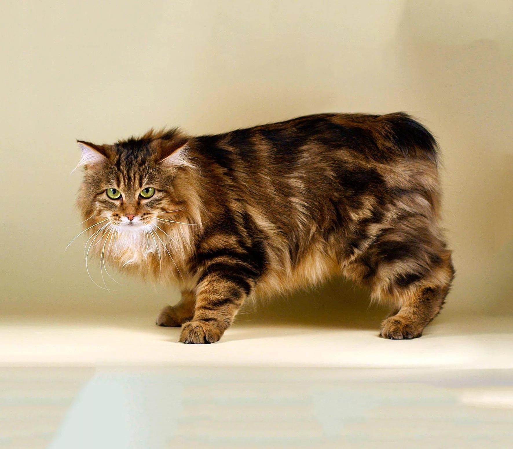 должен картинки кошки бобтейлы каждому