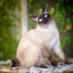 Меконгский бобтейл - самостоятельные кошки