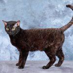 Немецкий рекс - кучерявая кошка