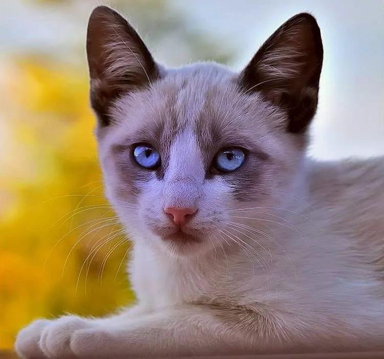 прошлом порода голубоглазых кошек фото плотность материала