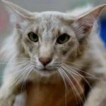 Ориентальная длинношерстная кошка - содержание