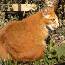Ориентальная длинношерстная кошка - уход