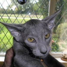 Ориентальная короткошерстная кошка - грациозная порода