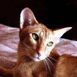 Ориентальная короткошерстная кошка - верная порода