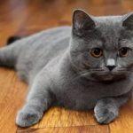 Шотландские прямоухие кошки - молодая порода