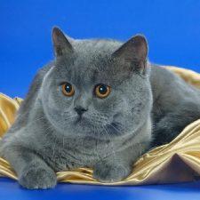 Шотландские прямоухие кошки - рассудительная порода