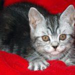 Шотландские прямоухие кошки - уход
