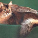 Сейшельская длинношерстная - кошка со своенравным характером