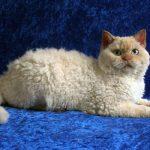Селкирк рекс короткошерстный - кошки-овечки