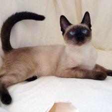 Сиамская кошка - добродушная порода