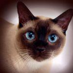Сиамская кошка - описание породы