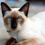 Сиамская кошка - содержание