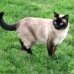 Сиамская кошка - уход