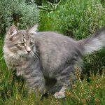Сибирская кошка - ласковая порода
