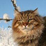 Сибирская кошка - особенности породы
