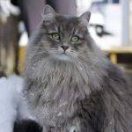 Сибирская кошка - популярная порода