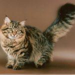 Сибирская кошка - пушистая порода