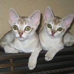 Сингапурская порода кошек - активная порода