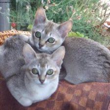 Сингапурская порода кошек - дружелюбная порода