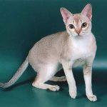 Сингапурская порода кошек - маленькая порода