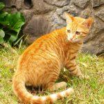 Цейлонская кошка - аборигенная порода