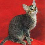 Цейлонская кошка - особенности породы
