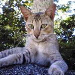 Цейлонская кошка - популярная порода