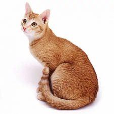 Цейлонская кошка - уход