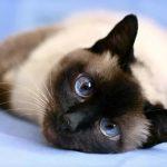Тайская порода кошек - особенности породы