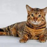 Тойгер - игрушечный тигр