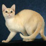 Тонкинская кошка - описание породы