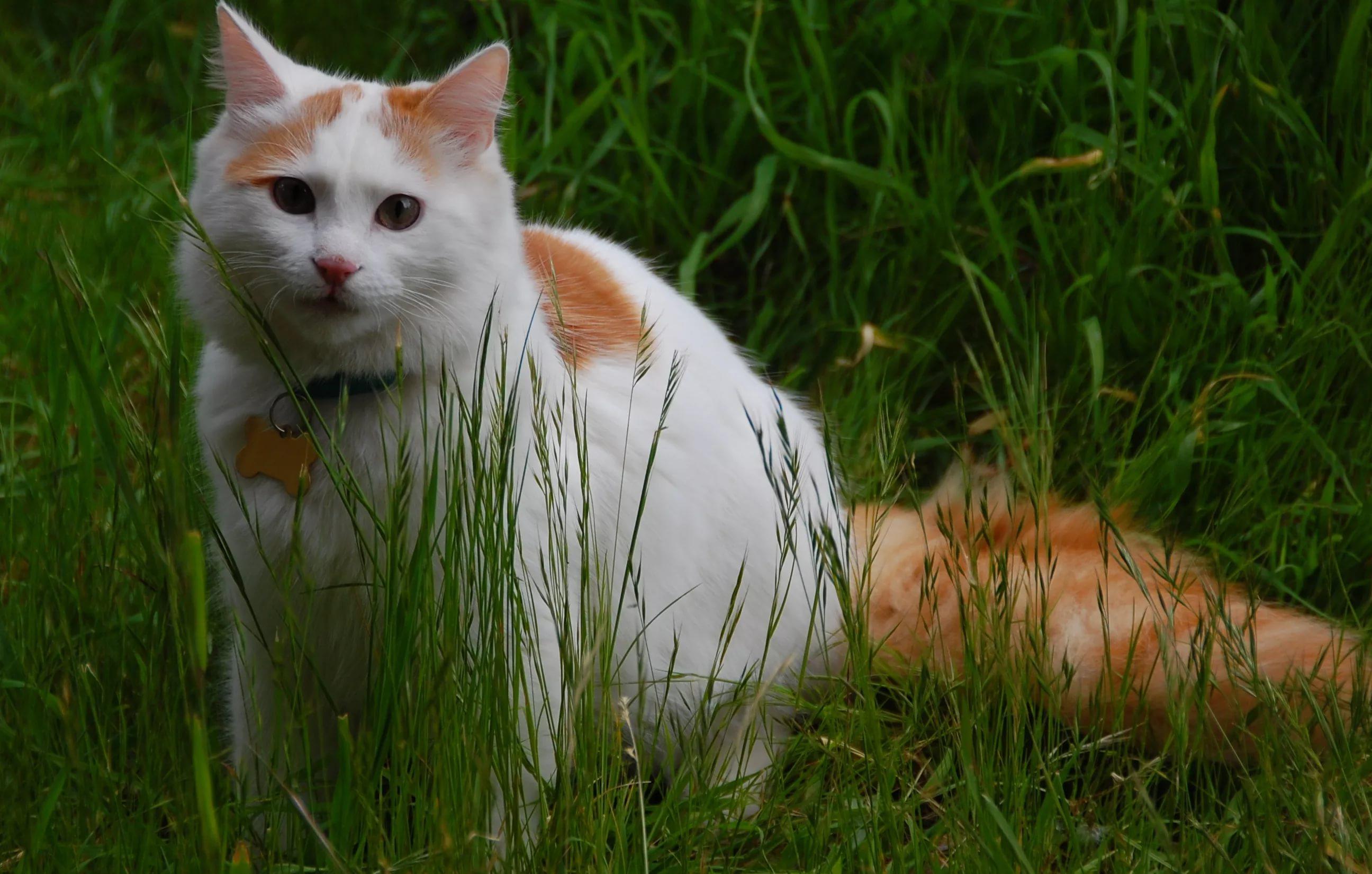 турецкий ван порода кошек фото ижевске