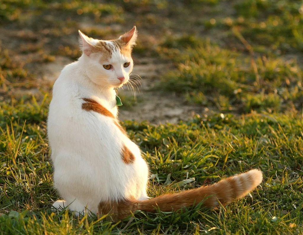этого артиста турецкий ван порода кошек фото это были