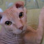 Украинский левкой - кошки без шерсти