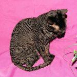 Уральский рекс короткошерстный - описание породы