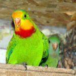 Барнардовый попугай - активный вид
