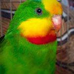 Барнардовый попугай - игривый вид