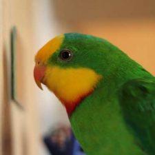 Барнардовый попугай - содержание