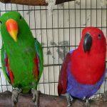 Благородный попугай Электус - крупный вид