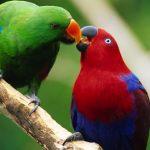 Благородный попугай Электус - особенности вида