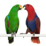 Благородный попугай Электус - содержание