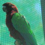 Блестящие попугаи - не способны к изучению слов