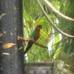 Блестящие попугаи - описание вида