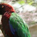 Блестящие попугаи - особенности вида