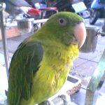Большеклювые попугаи - описание вида
