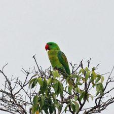 Большеклювые попугаи - особенности вида